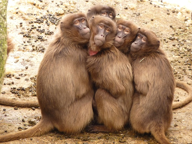 Baboons have something to teach us about kindness, health and happiness