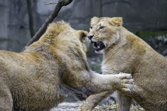 27165434772_62df7b24ce_b-fighting-lions